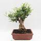 Indoor Bonsai - Fraxinus uhdeii - Indoor Ash - 2/6