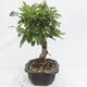 Outdoor bonsai -Malus Halliana - owocach jabłoni - 2/6