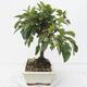 Outdoor bonsai -Malus Halliana - owocach jabłoni - 2/5
