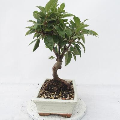 Outdoor bonsai -Malus Halliana - owocach jabłoni - 2