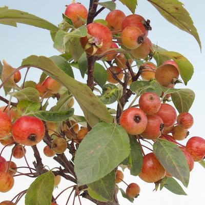 Outdoor bonsai - Malus halliana - Jabłoń drobnoowocowa - 2