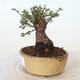 Bonsai zewnętrzne - Ulmus parvifolia SAIGEN - Wiąz drobnolistny - 2/6