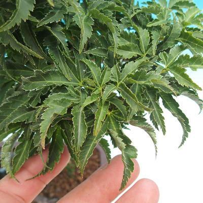 Outdoor bonsai - Acer palmatum SHISHIGASHIRA- klon mniejszy - 2