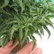 Outdoor bonsai - Acer palmatum SHISHIGASHIRA- klon mniejszy - 2/3