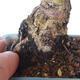 Bonsai zewnętrzne - Ulmus parvifolia SAIGEN - Wiąz drobnolistny - 2/7