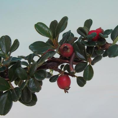 Outdoor bonsai-Cotoneaster horizontalis-Rock Garden - 2