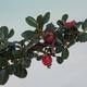 Outdoor bonsai-Cotoneaster horizontalis-Rock Garden - 2/2