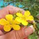 Odkryty bonsai pięciornik - Dasiphora fruticosa żółty - 2/2