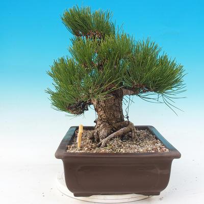Outdoor bonsai - Pinus thunbergii - Sosna Thunbergova - 2