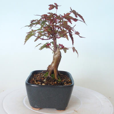 Bonsai outdoor - Maple palmatum DESHOJO - Maple palmate - 2