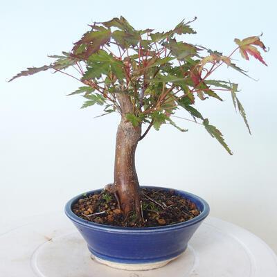 Outdoor bonsai - Maple palmatum sangokaku - Liść palmy klonowej - 2