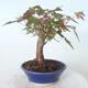 Outdoor bonsai - Maple palmatum sangokaku - Liść palmy klonowej - 2/5