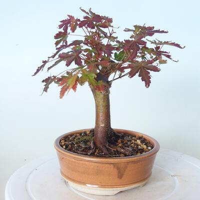 Bonsai na zewnątrz - Maple palmatum sangokaku - Liść palmy klonowej - 2