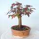 Bonsai na zewnątrz - Maple palmatum sangokaku - Liść palmy klonowej - 2/5