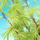 Outdoor bonsai - Pseudolarix amabilis - Pamodřín - 2/2