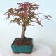 Bonsai outdoor - Maple palmatum DESHOJO - Maple palmate - 2/6