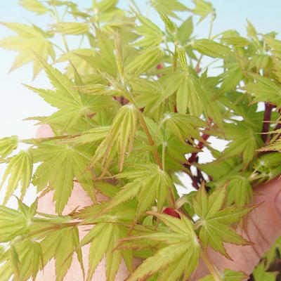 Outdoor bonsai - Acer pal. Sango Kaku - klon palmowy - 2