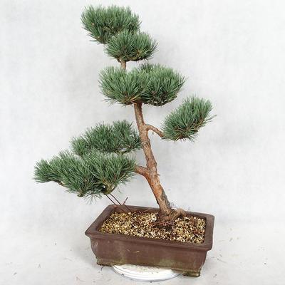 Outdoor bonsai - Pinus sylvestris Watereri - sosna zwyczajna VB2019-26852 - 2