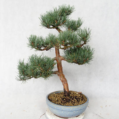 Outdoor bonsai - Pinus sylvestris Watereri - sosna zwyczajna VB2019-26859 - 2