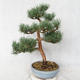 Outdoor bonsai - Pinus sylvestris Watereri - sosna zwyczajna VB2019-26859 - 2/4