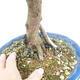 Kryty bonsai - Syzygium - Pimentovník - 2/3