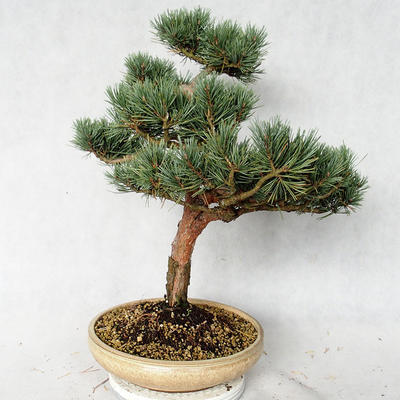 Outdoor bonsai - Pinus sylvestris Watereri - sosna zwyczajna VB2019-26868 - 2