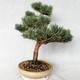 Outdoor bonsai - Pinus sylvestris Watereri - sosna zwyczajna VB2019-26868 - 2/4