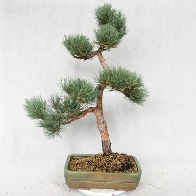 Outdoor bonsai - Pinus sylvestris Watereri - sosna zwyczajna VB2019-26877 - 2