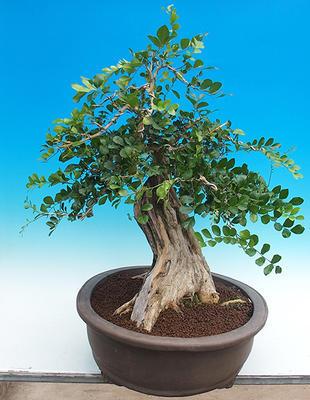 Pokój bonsai - Muraya paniculata - 2