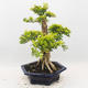 Bonsai do wnętrz - Duranta erecta Aurea - 2/6