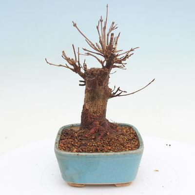 Outdoor bonsai - Buergerianum Maple - Burger Maple - 2