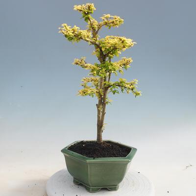 Kryty bonsai -Ligustrum Aurea - dziób ptaka - 2