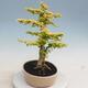 Kryty bonsai -Ligustrum Aurea - dziób ptaka - 2/6