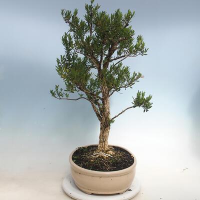 Kryty bonsai - Buxus harlandii - Bukszpan korkowy - 2
