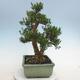Kryty bonsai - Buxus harlandii - Bukszpan korkowy - 2/6