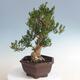 Kryty bonsai - Buxus harlandii - Bukszpan korkowy - 2/5