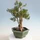 Kryty bonsai - Buxus harlandii - Bukszpan korkowy - 2/7