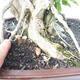 Bonsai do wnętrz - Duranta erecta Aurea - 2/6