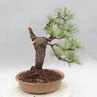 Outdoor bonsai - Pinus sylvestris - Sosna zwyczajna - 2