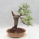 Outdoor bonsai - Pinus sylvestris - Sosna zwyczajna - 2/4