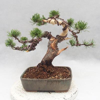 Outdoor bonsai - Pinus Mugo - Klęcząca Sosna - 2