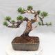 Outdoor bonsai - Pinus Mugo - Klęcząca Sosna - 2/5