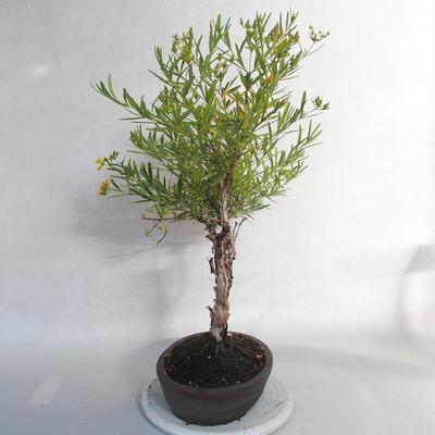 Outdoor bonsai- ziele dziurawca - Hypericum - 2