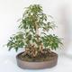 Outdoor bonsai - Forsycja - Forsycja - 2/5