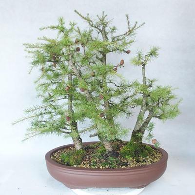Outdoor bonsai -Larix decidua - modrzew - 2