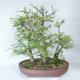 Outdoor bonsai -Larix decidua - modrzew - 2/5