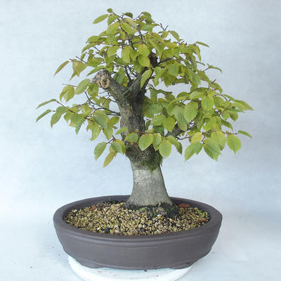 Outdoor bonsai - grab - Carpinus betulus - 2