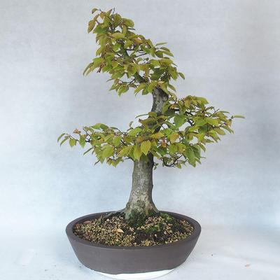 Outdoor bonsai - grab - Carpinus betulus - 2