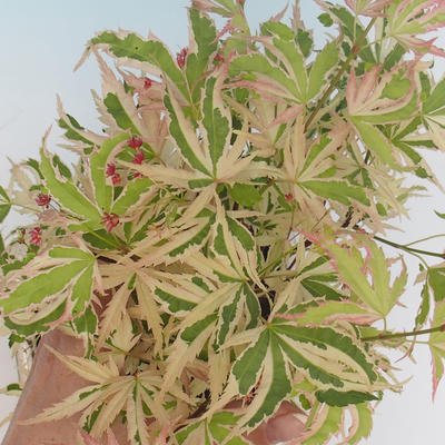Outdoor bonsai - Acer palmatum Butterfly VB2020-693 - 2