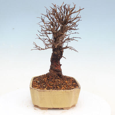 Outdoor bonsai - Zelkova - Zelkova NIRE - 2